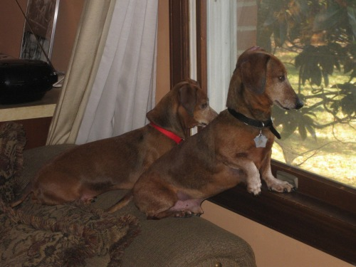 Happy Tails - Dachshund Rescue of North America